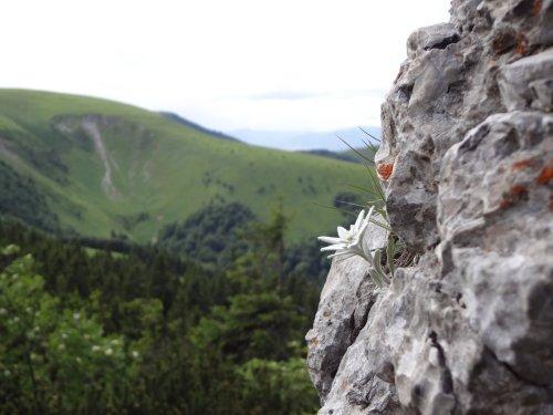 Edelweiß – protěž alpská